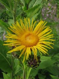Ratgeber Heilpflanzen - Alant - die Heilpflanze