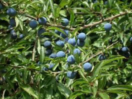 blau blühende sträucher